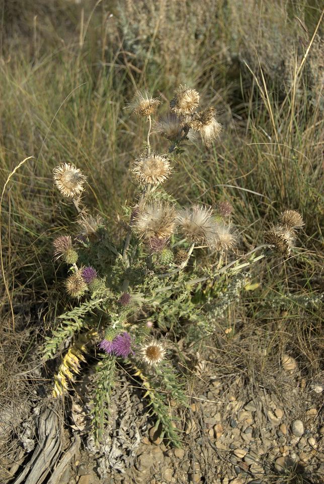 Flowering plants inside Dinosaur Provincial Park in Alberta, Canada