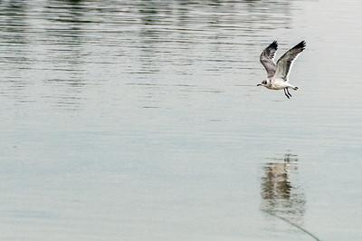 Bird in flight in Elk Island National Park - Alberta, Canada