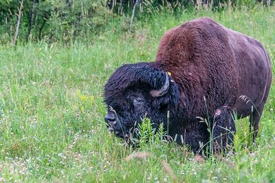 Wood bison in Elk Island National Park - Alberta, Canada