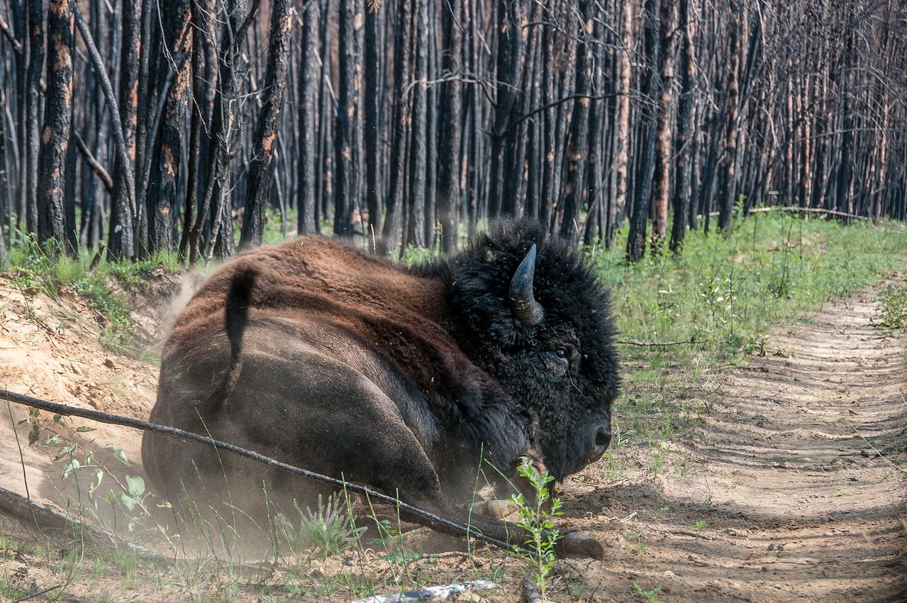 Wood bison in Wood Buffalo National Park - Alberta, Canada