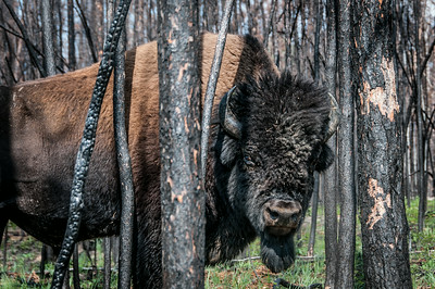 Wood bison in Wood Buffalo National Park - Alberta, Canada