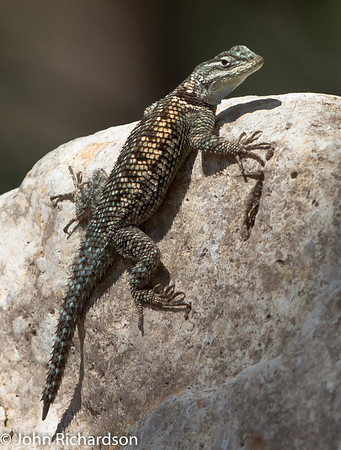 Yarrow's Spiny Lizard - South Fork Road