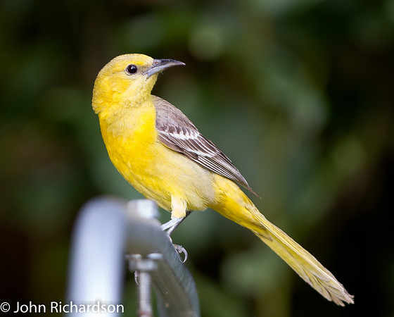 Summer Tanager female - SWRS