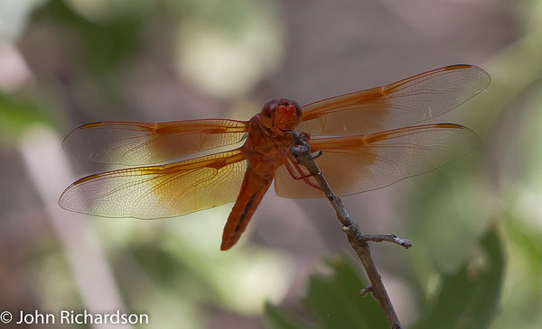 Red-veined Darter - South Fork Road