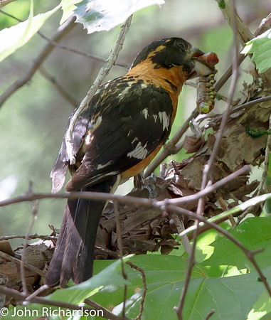 Black-headed Grosbeak - Sunny Flat CG