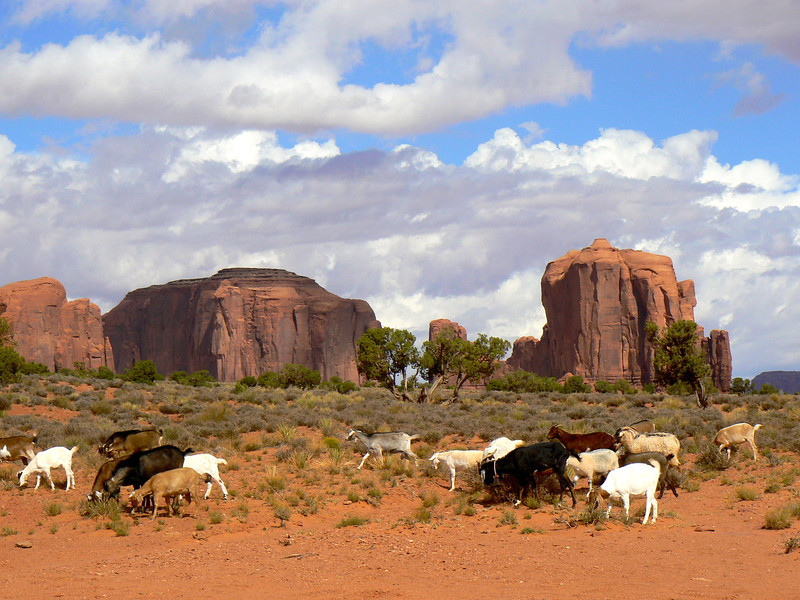 Grazing goats in Monument Valley