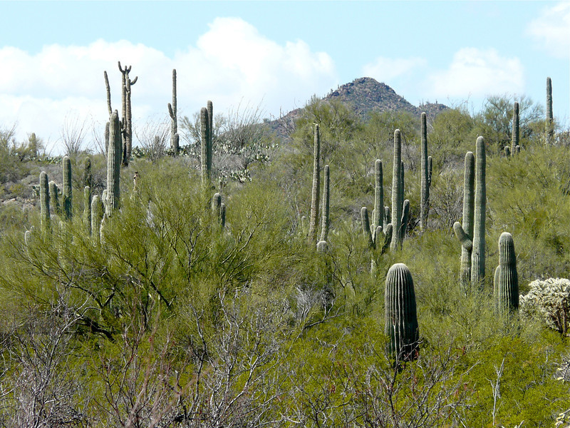 Saguaro cactus in the Tucson desert
