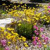 tucson-wildflowers