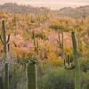 saguaro-national-park-wildflowers