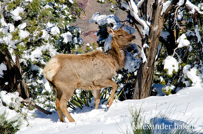 Cow elk, there are lots of elk at the canyon.