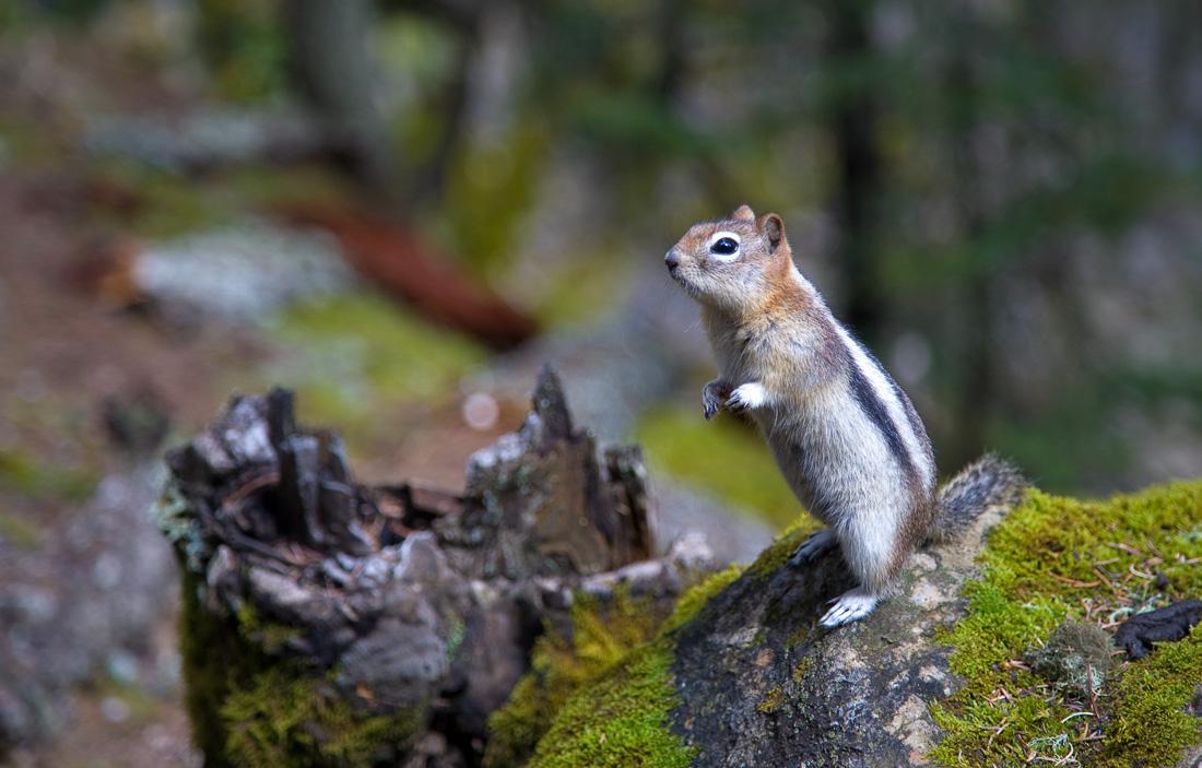 Golden-mantled Ground Squirrel (99611298)