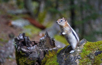 Golden-mantled Ground Squirrel (99611298)