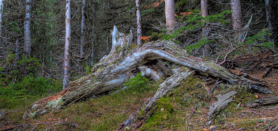Dead wood on way to Consolation Lake (99611316)