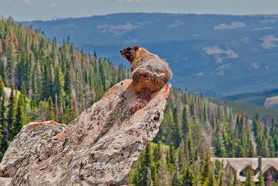 Mr. Marmot, Beehive Basin trail