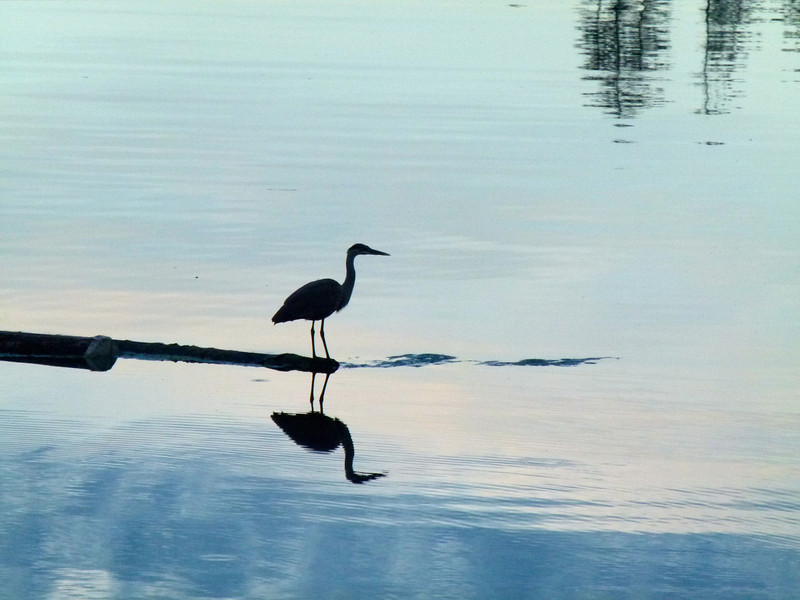 Bird in the water at sunset.