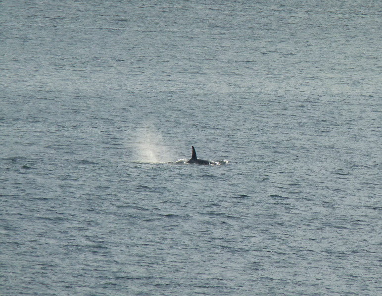 Whale Spout on the Inside Passage