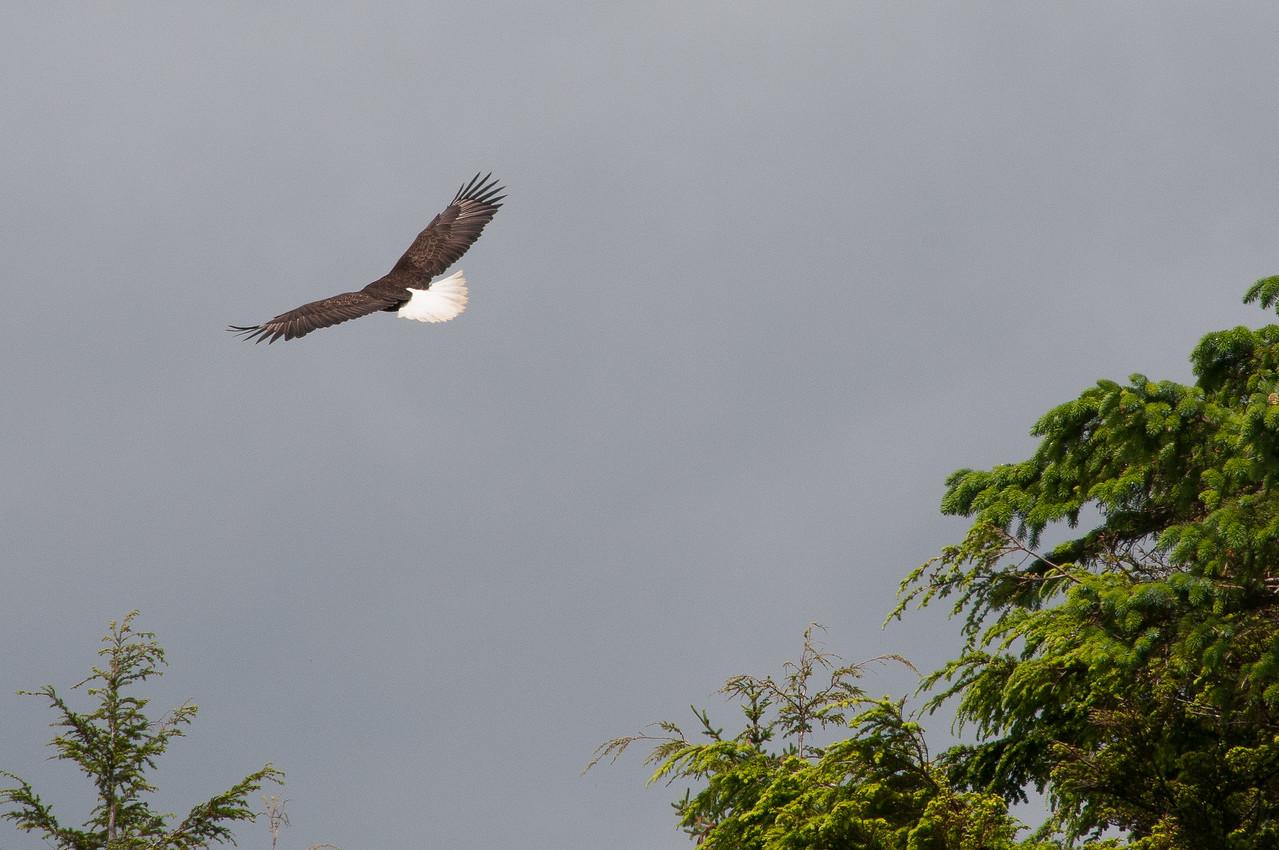 Crow flying over Skidegate in Haida Gwaii, British Columbia