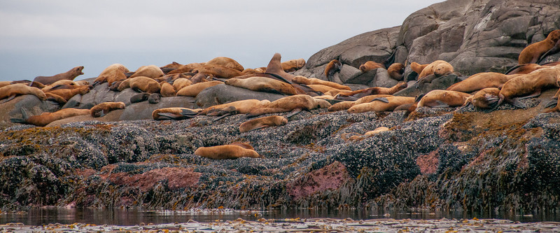 Sea lions in Gwaii Haanas National Park