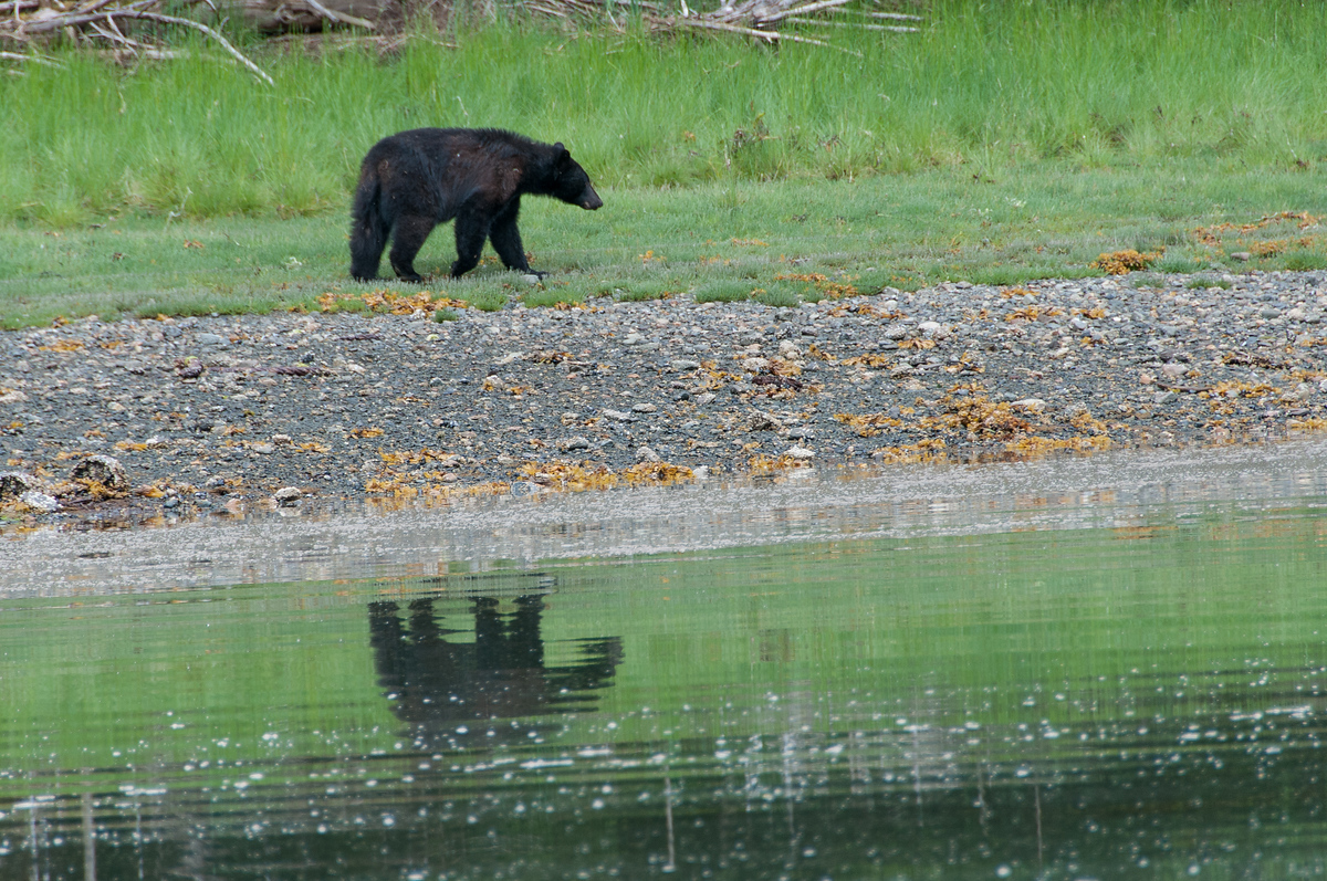 A Black Bear in Haida Gwaii, British Columbia