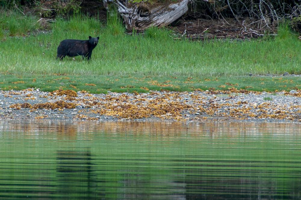 Black Bear in Haida Gwaii, British Columbia