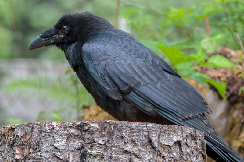 Black crow in Haida Gwaii, British Columbia