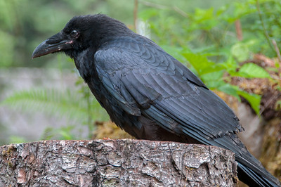 Black crow in Haida Gwaii, British Columbia