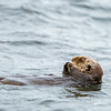 reclining sea otter scruffy wet fur