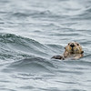 sea otter with whiskers