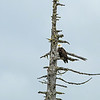 dead tree with bald eagle