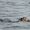 sea otter slicked down fur