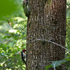 red-breasted sapsucker on tree