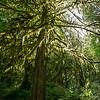 sunburst through mossy tree
