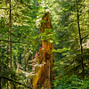 glowing shard of redwood trunk mid-forest