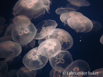 Moon Jellies - Jellyfish exhibits Montereny Bay Aquarium
