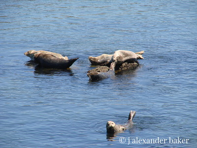 Harbor Seals, Monterey Bay