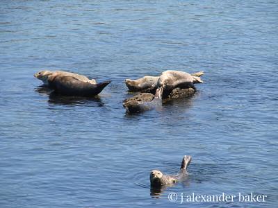 Harbor Seals, Monterey Bay