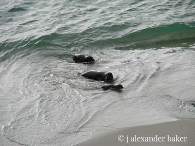 Harbor Seals, China Cove, Point Lobos