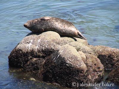 Harbor Seal, Monterey Bay