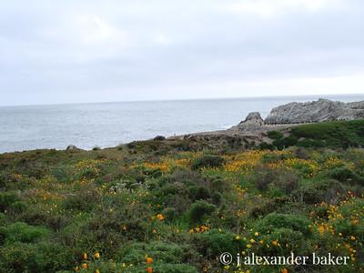 Californai Poppies, Point Lobos