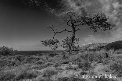 Torrey Pines Pine