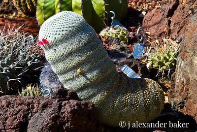 Cactuspillar - Huntington Gardens