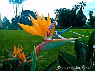 Bird of Paridise, Langham Huntington Pasadena Hotel