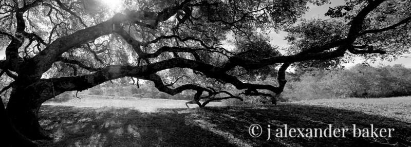Sprawling Oak
