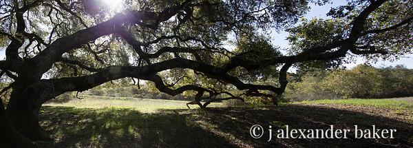 Sprawling Oak - color