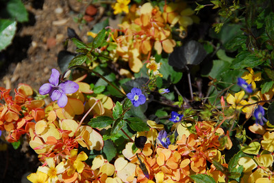 Colorful flora in the Getty Center Garden in California