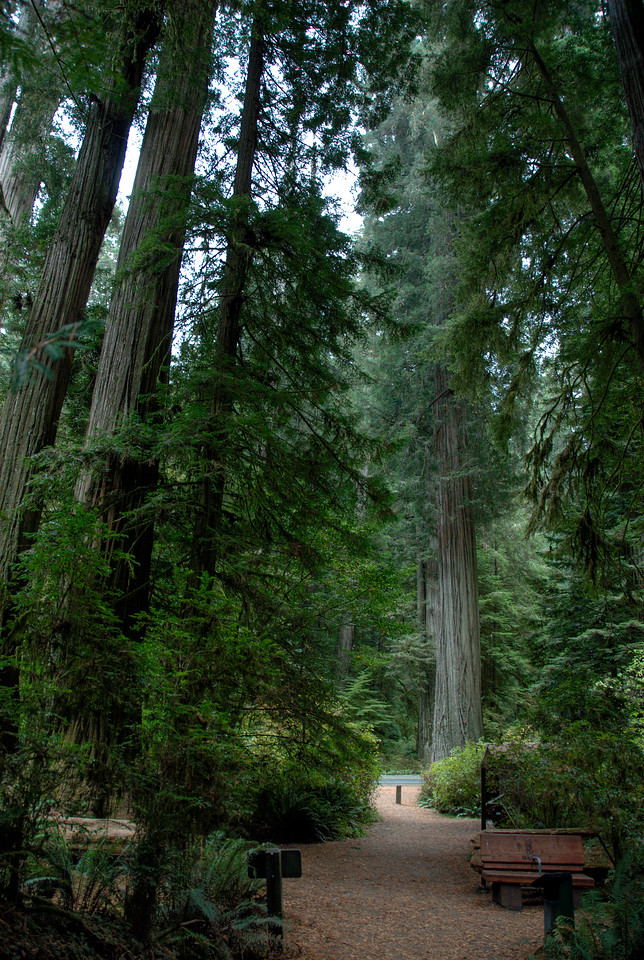Shot of the tall Redwood trees inside Redwood National Park