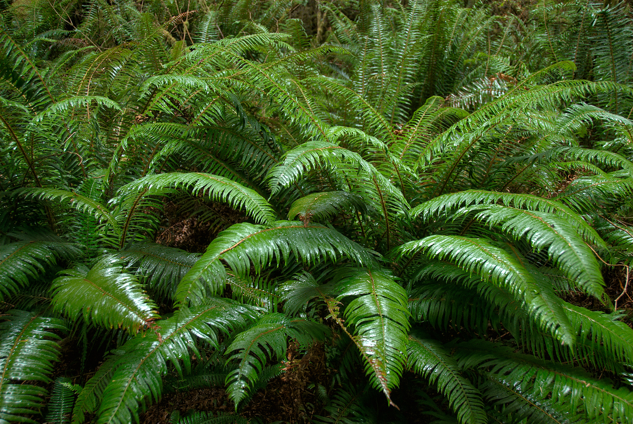 Fern plants in Redwood National Park in California