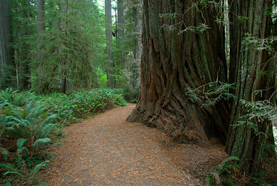 Hiking trail inside Redwood National Park in California