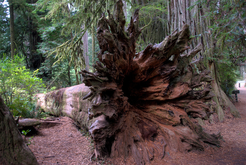 Uprooted Redwood tree in Redwood National Park in California