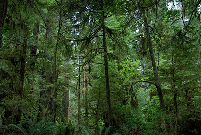 Thick canopy in Redwood National Park in California